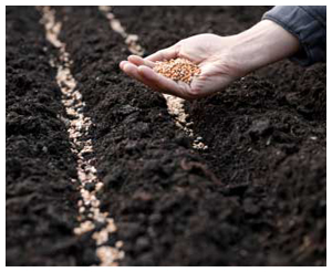 sowing1